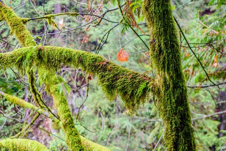 Wet branches and trees overgrown with lush green ferns and moss in rainforest in British Columbia, Canada. 写真素材