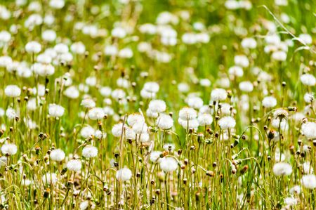 Field of dandelions with white puffy seed heads.