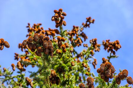 Many clusters of conifer cones hanging off tree branches against blue sky.