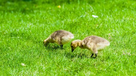 Two cute young goslings looking for food in green grass.