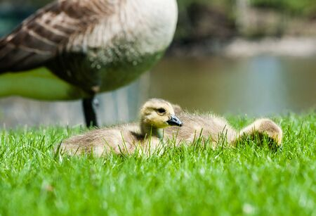 Cute young goslings sitting in grass near adult Canada Goose.