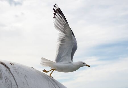 Seagull with wings extended launching into flight from round surface against cloudy sky.