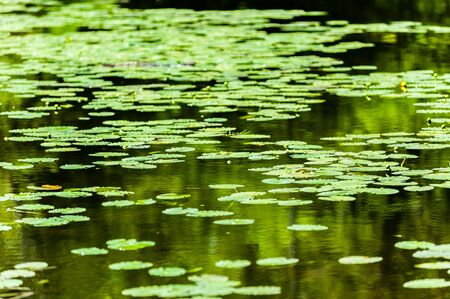 Pond of many water lilies floating on surface receding into blurred distance. Фото со стока