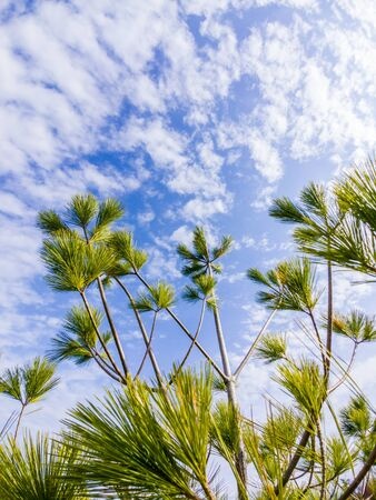 Sparse branches of long-needled evergreen tree against sky and clouds.