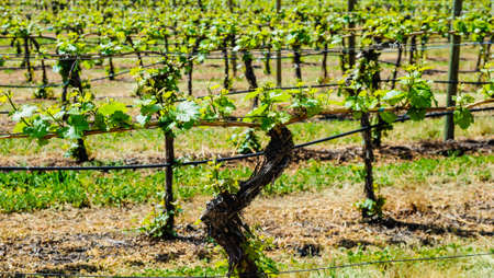 Close-up of grape vines in rows in vineyard.