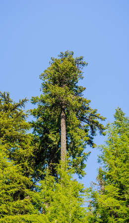 Tall green coniferous tree in dense forest against blue sky.