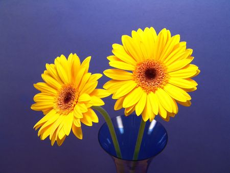Two yellow gerbera daisies in a vase with a blue background photo