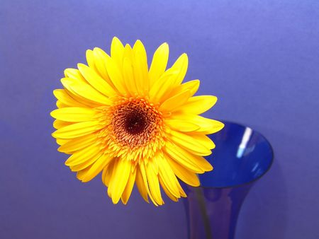 Yellow gerbera daisy in a vase with a blue background photo