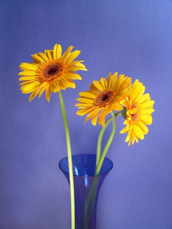 Yellow gerbera daisies in a blue vase with a blue background photo