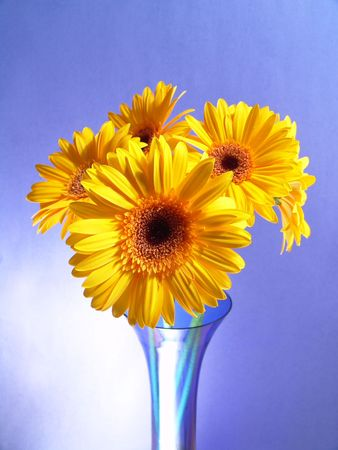 Yellow gerbera daisies in a blue vase with a blue background