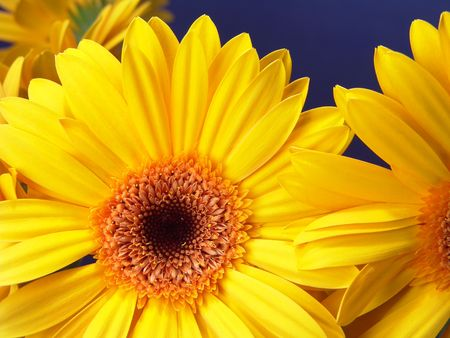 Yellow gerbera daisies with a blue background Standard-Bild