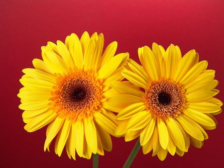 Yellow gerbera daisies with a red background