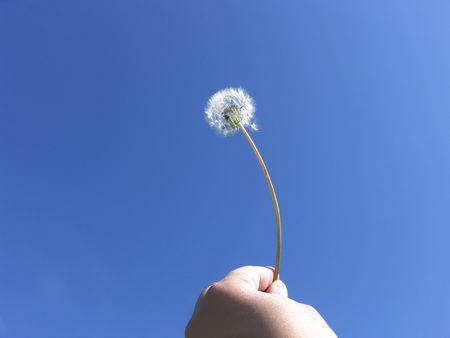 Human freedom - Dandelion seeds on blue sky                                Фото со стока