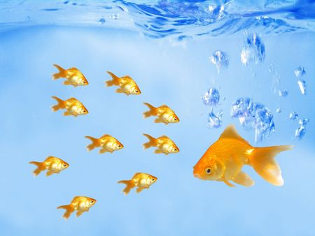 A group of goldfishes following their leader (under water)                             photo