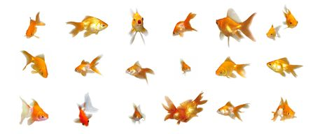 Many beautiful goldfishes isolated on white background (can be used individually)