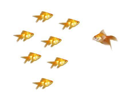 Many beautiful goldfishes isolated on white background (can be used individually) photo