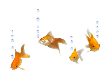 individually: Friendly goldfishes with water bubbles - Many friendly beautiful goldfishes isolated on white background (can be used individually)