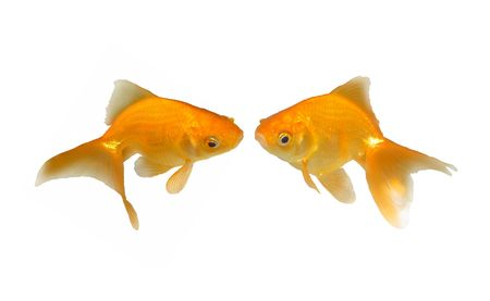 Lovely Kissing Goldfishes - Wedding Invitation - Two beautiful friendly goldfishes isolated on white background (can be used individually) Standard-Bild