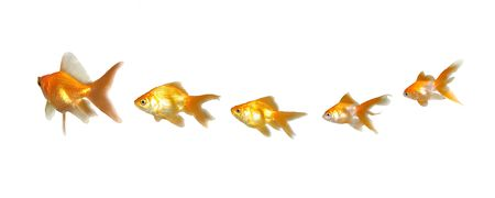 Goldfishes Teamwork and Leadership - Many beautiful goldfishes isolated on white background (can be used individually)