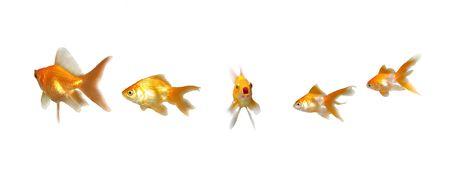 Goldfishes Member Speak Up - Many beautiful goldfishes isolated on white background (can be used individually) Imagens