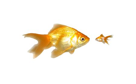 Large and Small Goldfishes (Power) - Two beautiful friendly goldfishes isolated on white background (can be used individually) photo
