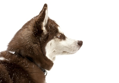 Brown husky covered in snow on a white background photo