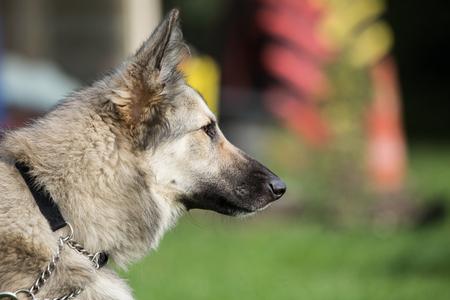 Anatolian Shepherd Dog Stock Photo
