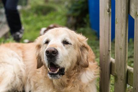 portrait of golden retriever dog outdoors from belgium