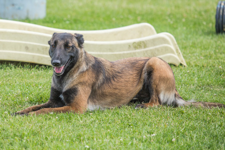 portrait of a Belgian Malinois shepherd outdoors in belgium