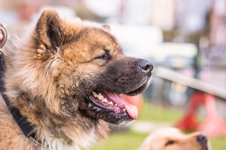 american akita during an obedience training in belgium