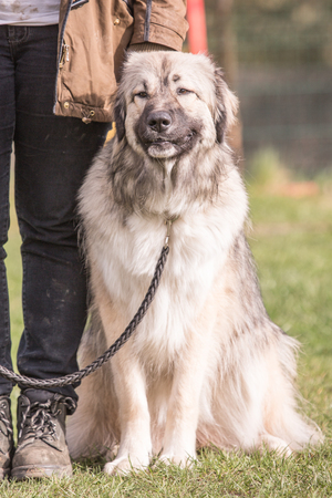 portrait of an Anatolian Shepherd Dog outdoors during a training course in belgium