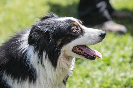 Border Collie dog in belgium