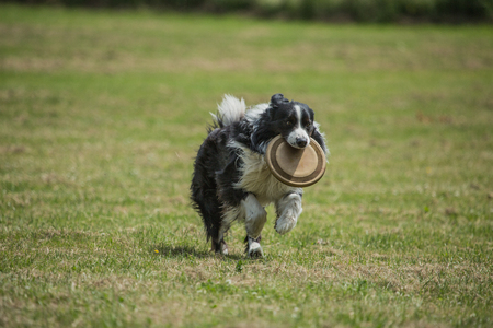 Border Collie dog in belgium