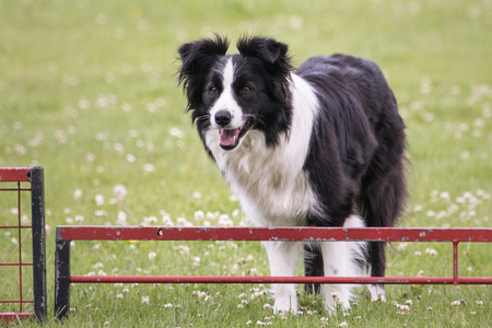 border collie sheepdog outdoor portrait of belgium
