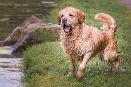 Golden retrievers domestic dog portrait outdoors in Belgium Stock Photo