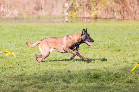 Belgian Shepherd Dog Malinois in Belgium 스톡 콘텐츠
