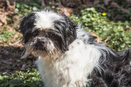Lhasa Apso dog in belgium