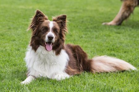 border collie dog outdoors in Belgium