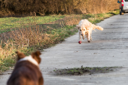 golden retrievers and border collie dogs playing in belgium