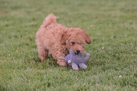 imagen de un perro caniche que vive en Bélgica