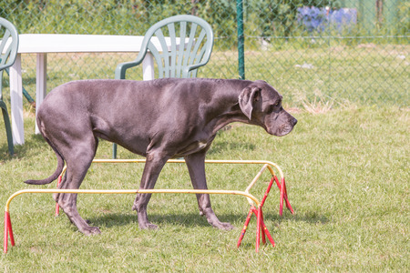 Portrait of german mastiff living in belgium