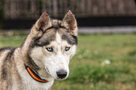 photo of a siberian husky dog ??living in Belgium