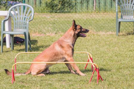 Portrait de chien de berger belge vivant en Belgique