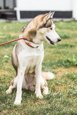 portrait of siberian husky dog living in belgium Stock Photo