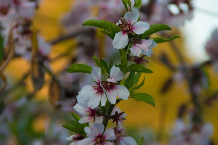 Almond tree  in bloom. photo