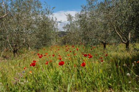 Poppies in Olive Grove Spain photo