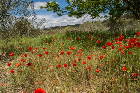 Papaveri a Olive Grove Spagna