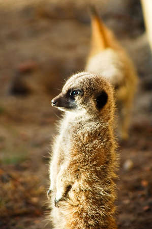 watchful meerkat watching in the sun Stock Photo