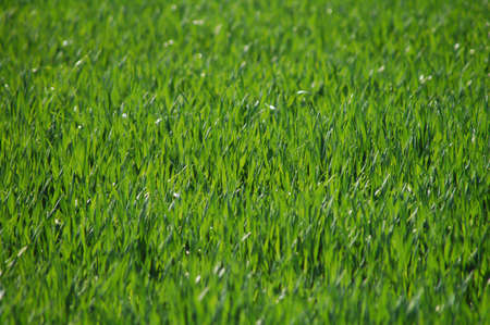 Beautiful green grass patch taken on a sunny day Stock Photo