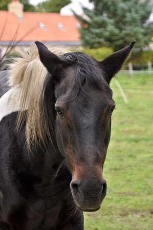 Beautiful closeup of a black horse in a field Stock Photo - 8310924